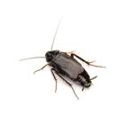 disinfestazione-scarafaggi