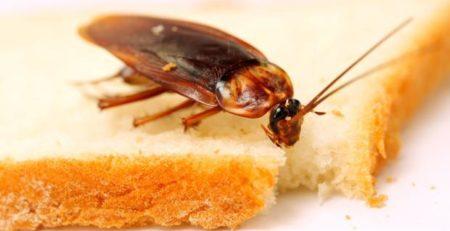 Disinfestazione blatte e scarafaggi